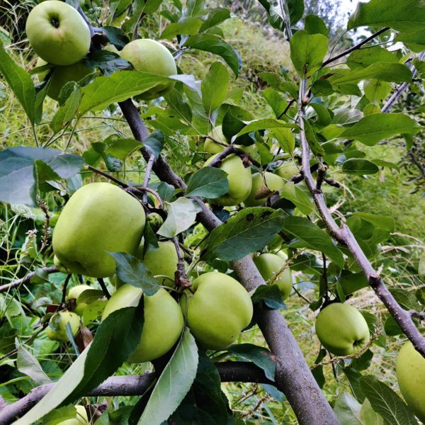 Fresh Golden Delicious Apples from Shimla