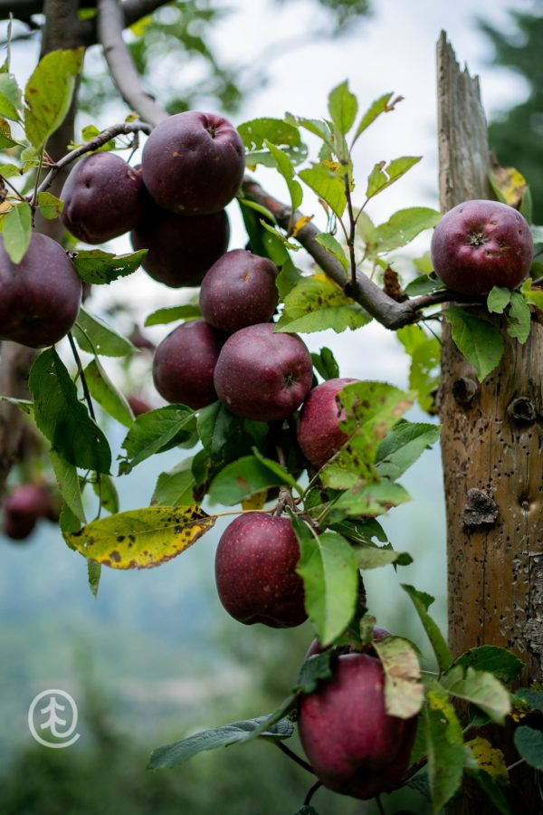 Fresh Oregon Spur Apples from Qurost Orchards, Jubbal